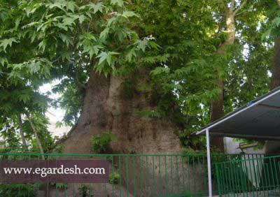 درخت چنار کهنسال مسجد باغوار تویسرکان