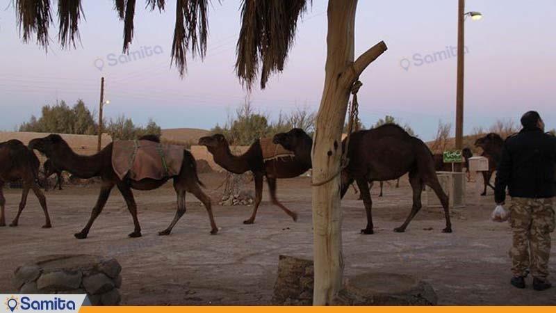 شتر سواری اقامتگاه سنتی بارانداز