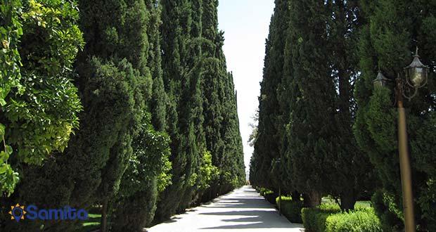 أشجار سرو القديمة