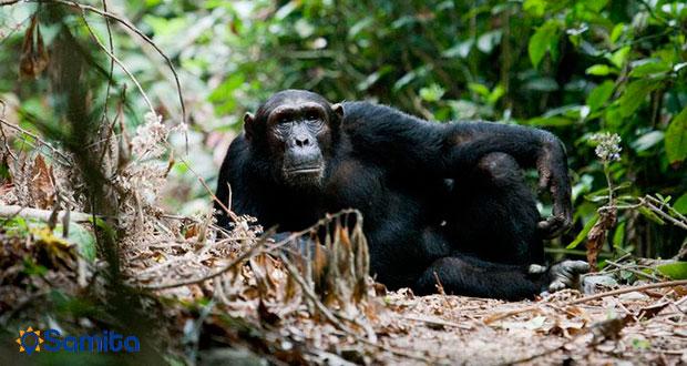 شامپانزه در تانزانیا