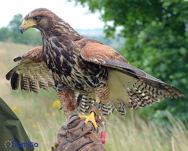 باز شکاری در پارک ملی دارتمور