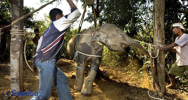 شکنجه کردن فیل ها در تایلند